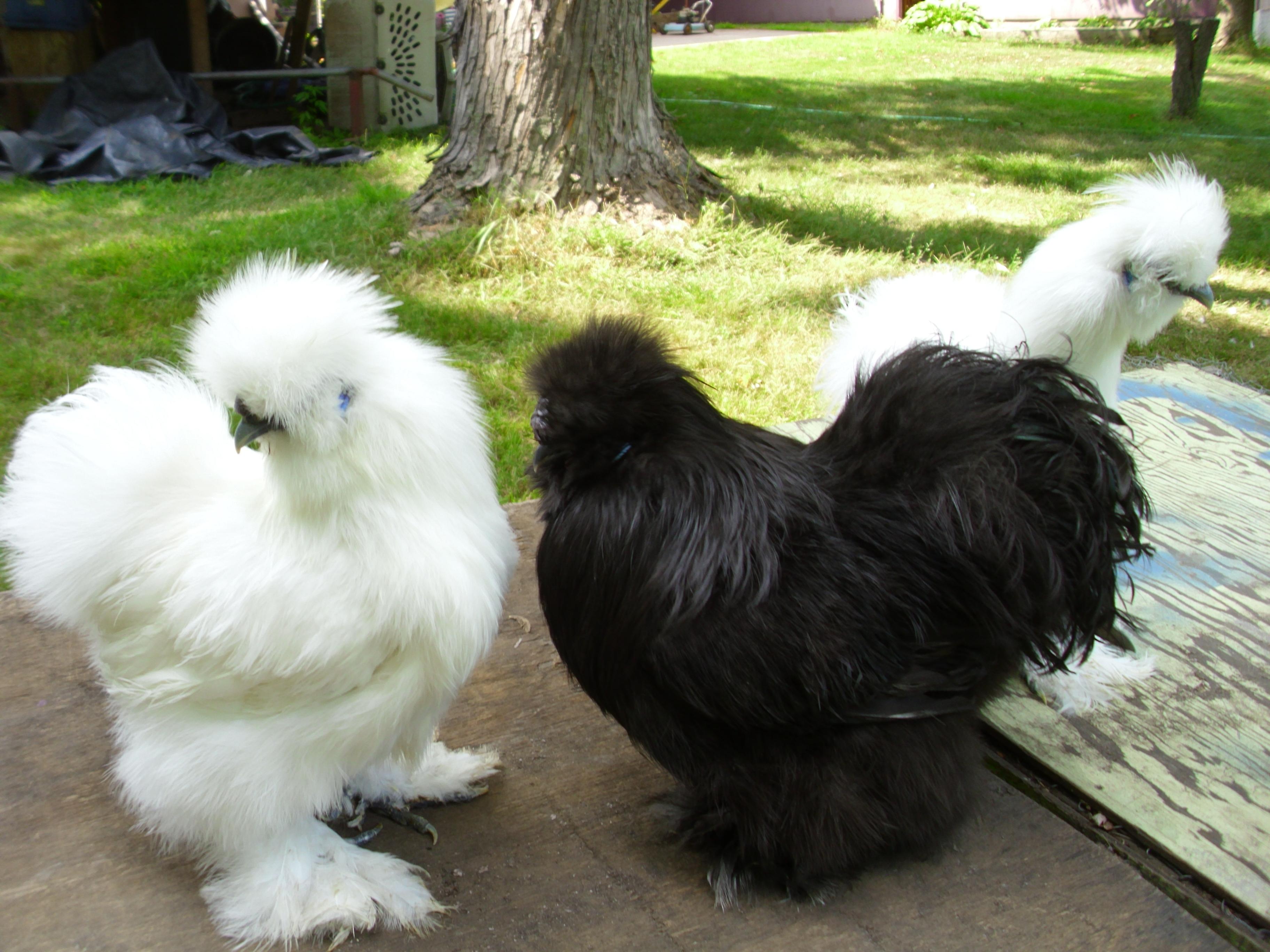 vjp poultry silkie chicken breeder