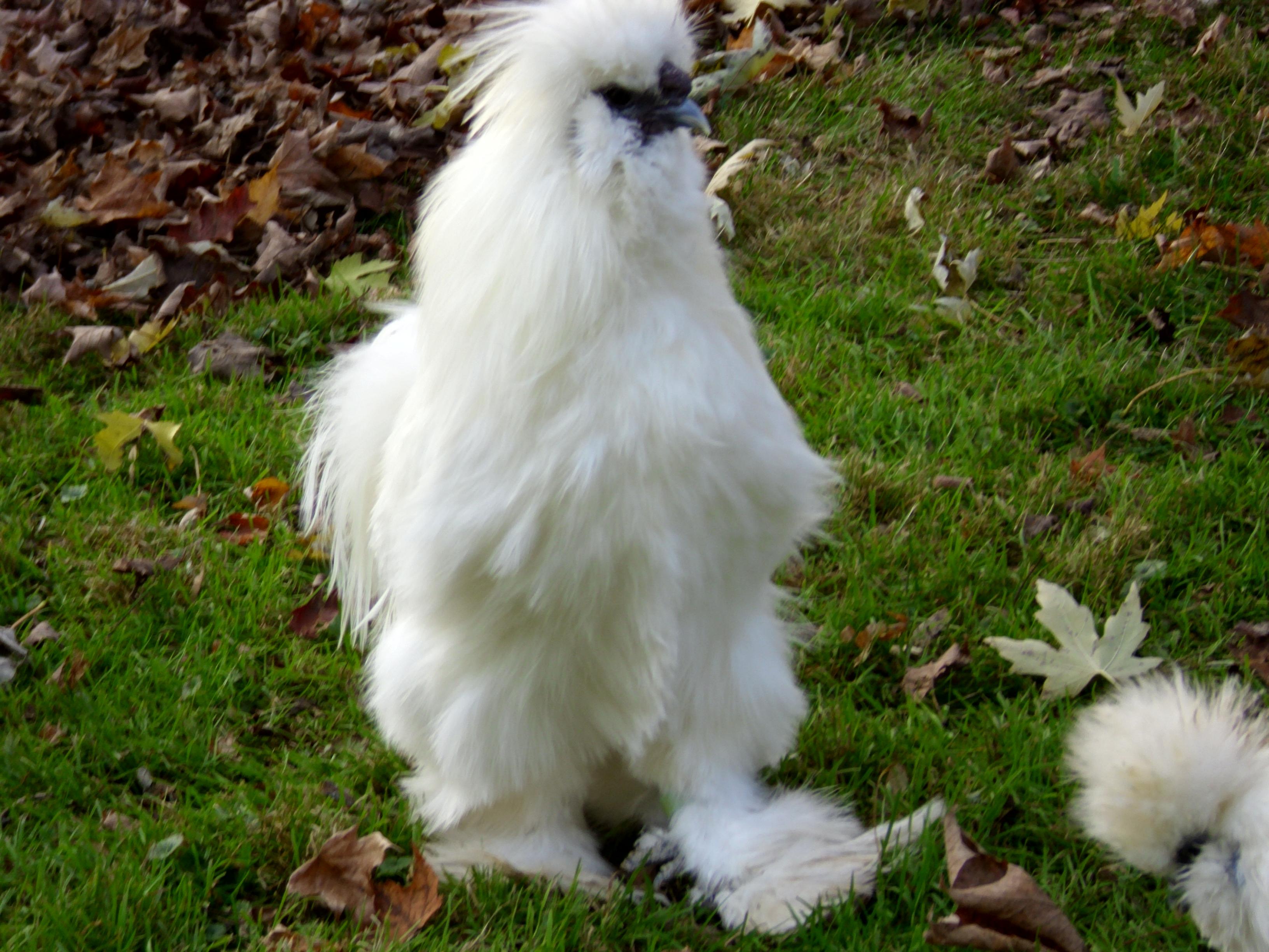vjp poultry white rooster vjp poultry