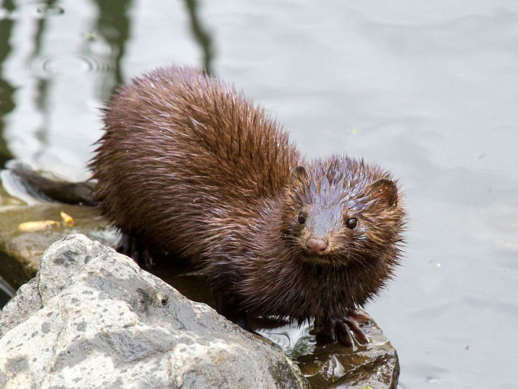 another mink