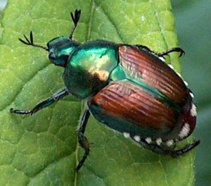 Japanese-Beetle-Picture-300x264